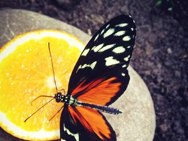 Expoziţia Fluturi tropicali vii se prelungeste