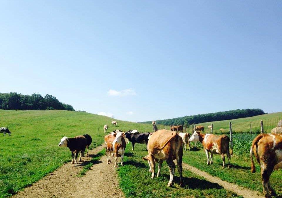 Drumul cașcavalului. O experiență cu lapte, văcuțe și prieteni [P]